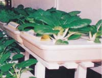 Figure 2 Chinese Mustard Grown by Trough Hydroponics
