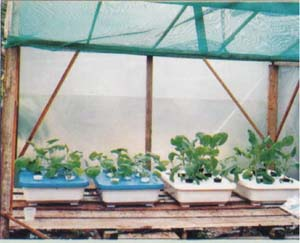 Figure 4 Trough Hydroponics for Small-Scale Production of Vegetables