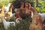 Raising Free-Range Chickens 1