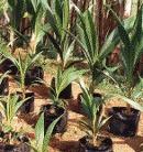 macapuno seedlings