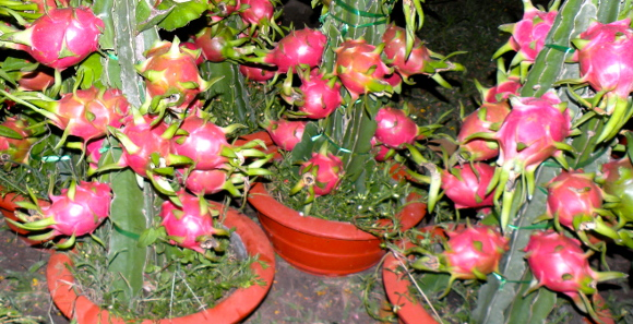 Dragon Fruit Production Guide Growing Dragon Fruit