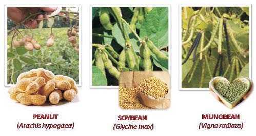 peanut - soybean - mungbean