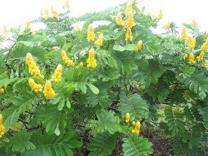 Philippine medicinal plant Cassia alata