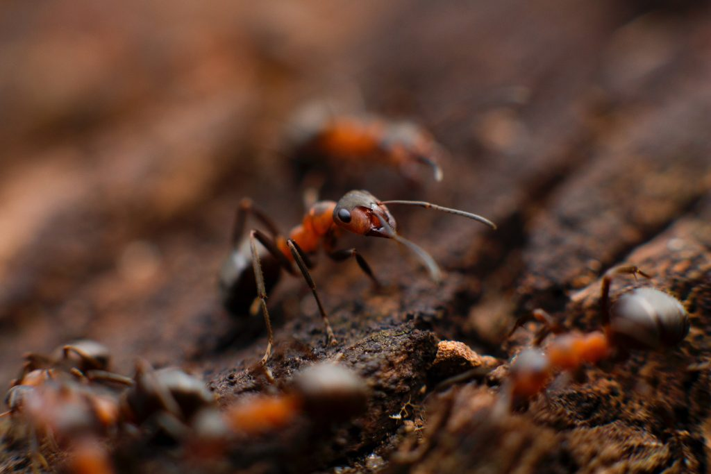pest control colony of fire ant