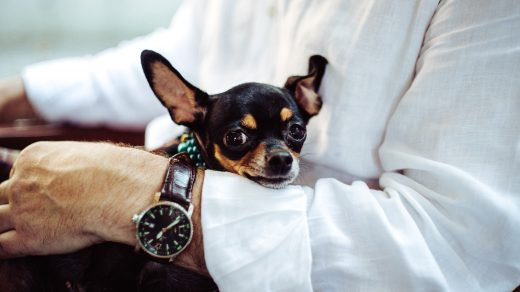 pet business man in white dress shirt wearing round analog watch with brown leather bracelet holding black chihuahua during daytime