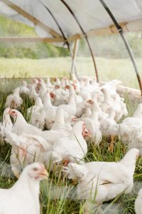poultry raising guide white chicken on green grass field during daytime