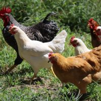 raise chickens white and brown chicken on green grass during daytime